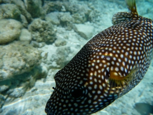 FS LAGOON SANCTUARY | SPOTTED PUFFERFISH