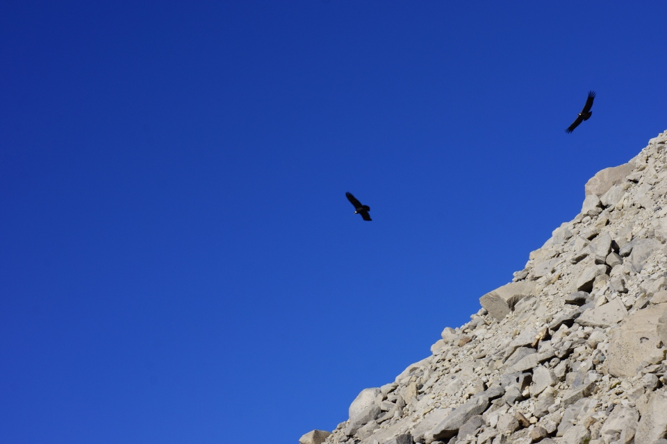 CONDORS PUTTING ON A SHOW FOR US