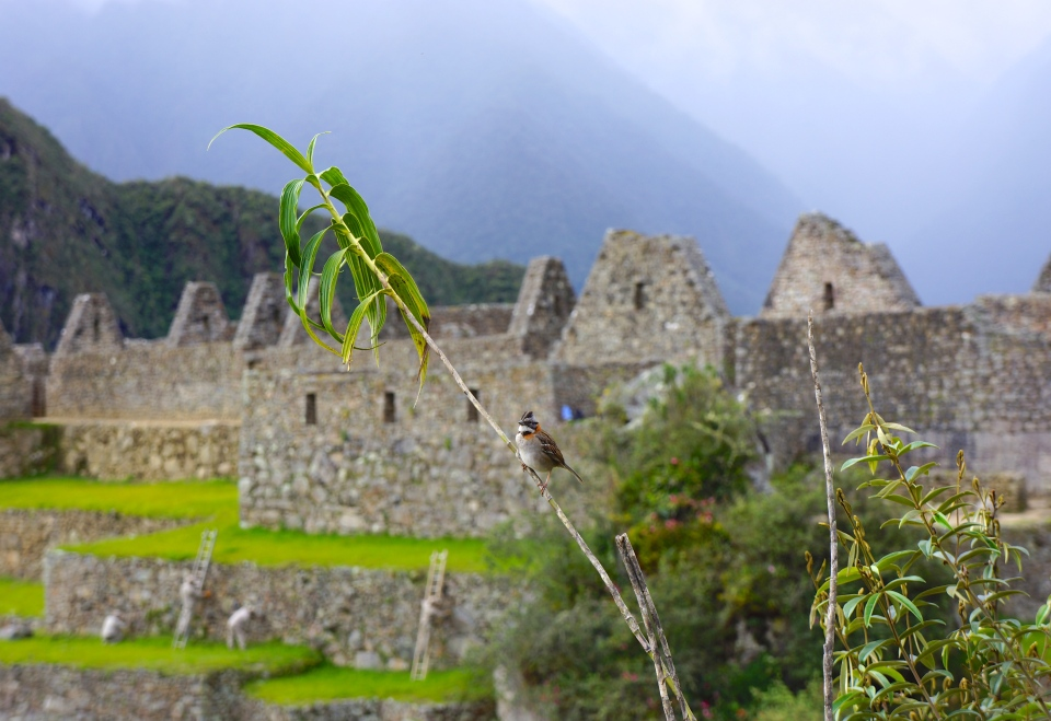 BIRDLIFE AT MACHU PICCHU
